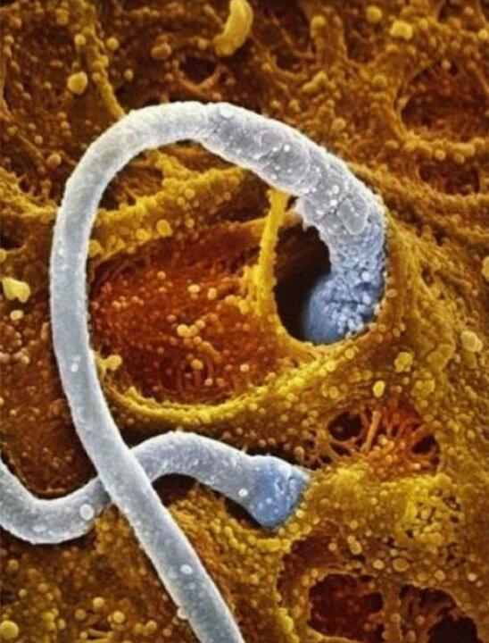 2-3 неделя беременности оплодотворение яйцеклетки сперматозоидом
